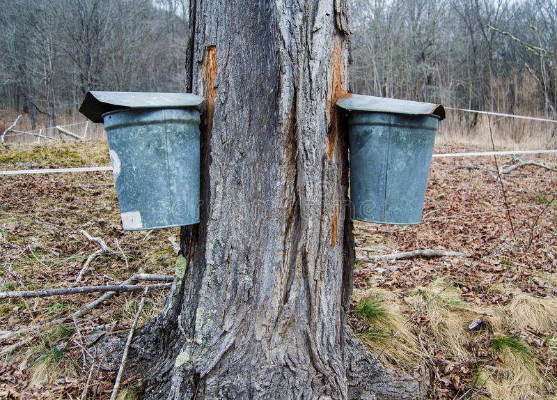 Pails Collecting Sap To Make Maple Syrup. Two pails on maple tree collecting sap to produce maple syrup and other maple products royalty free stock photography