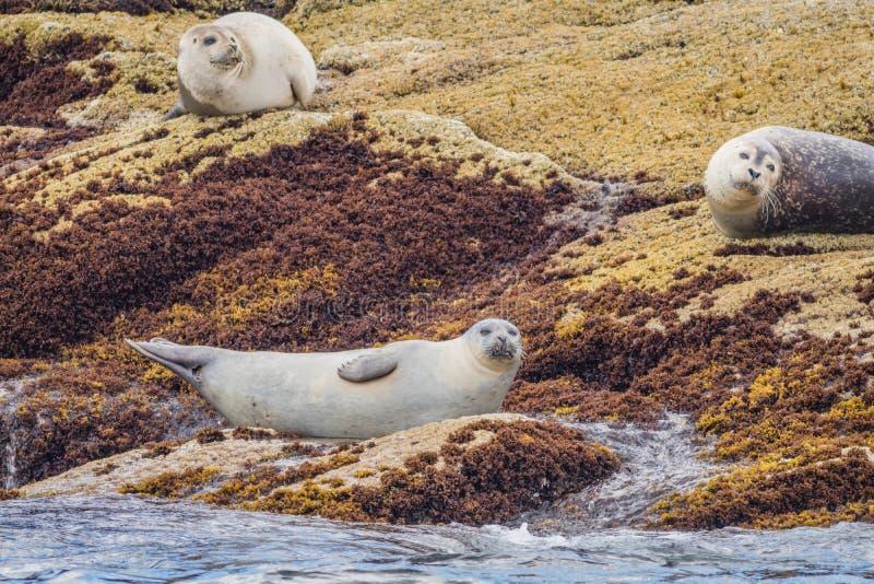 Pain de vitulina de Phoca de joints de port sur des roches photo libre de droits