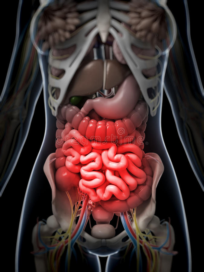 Download Painful belly stock illustration. Image of anterior, intestine - 30725787