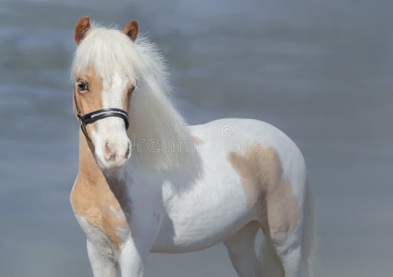 Paint American Miniature Horse stock image