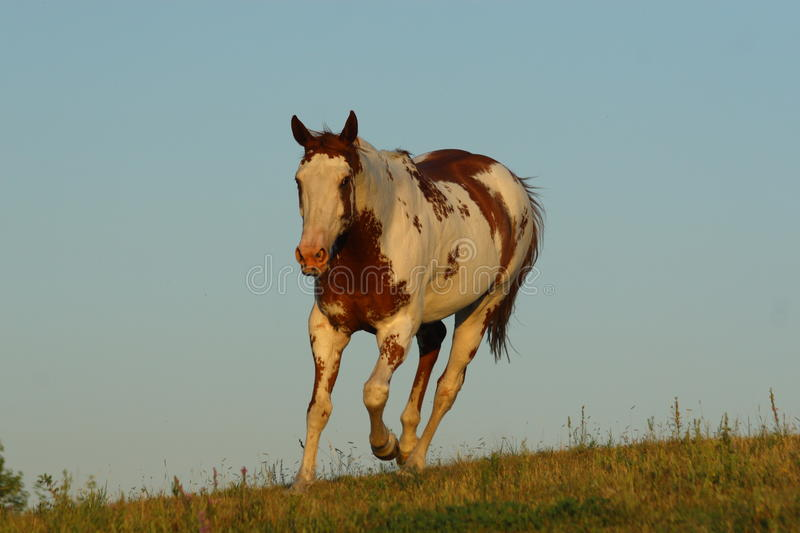 Paint horse royalty free stock photos
