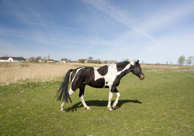 Paint Horse. Black and white paint or pinto horse walking across pasture in bright sunshine,houses and barns in distance in background stock photo