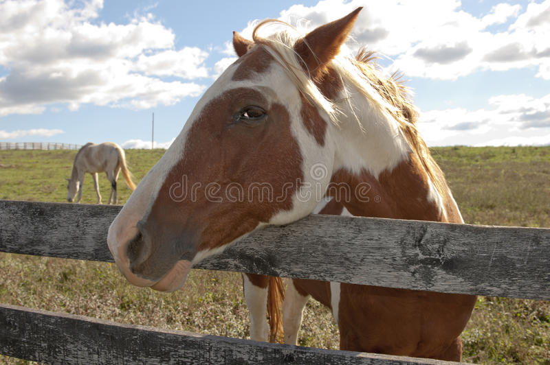 Download Paint Horse On Behind A Farm Fence. Stock Image - Image: 16963291