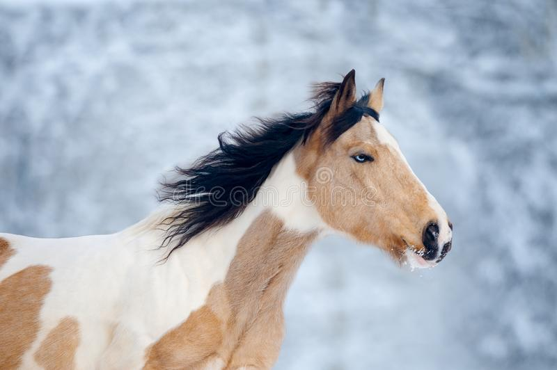 Paint horse with blue eye head closeup in winter background. The paint horse with blue eye head closeup in winter background royalty free stock photo