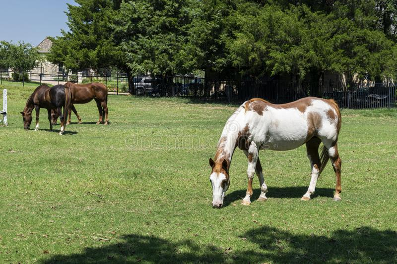 Paint horse grazing in pasture with brown horses in background. A beautiful white and brown paint horse grazing on the green grass in a farm pasture while a pair stock image