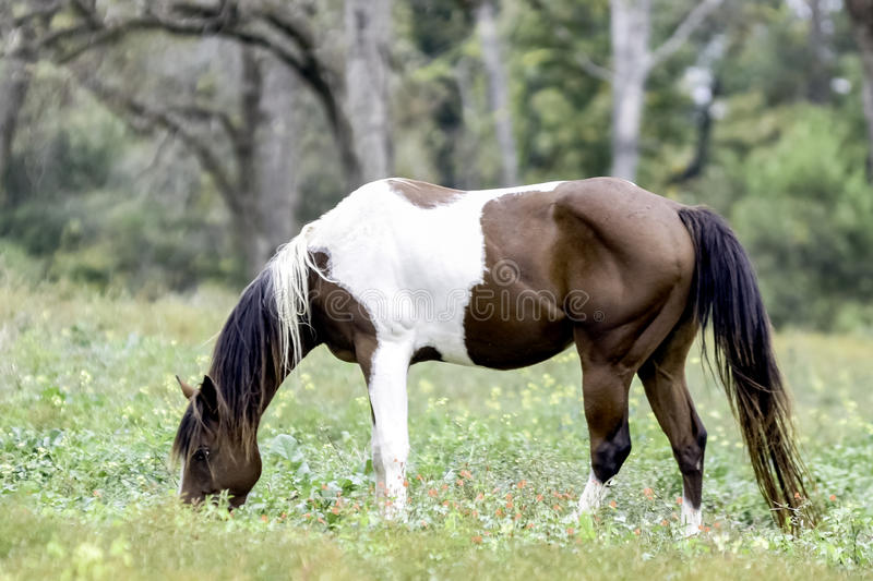 Paint horse grazing in pecan grove. Brown & white paint horse grazing in a pasture containing pecan trees royalty free stock images