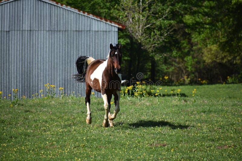 Paint Horse Running stock image