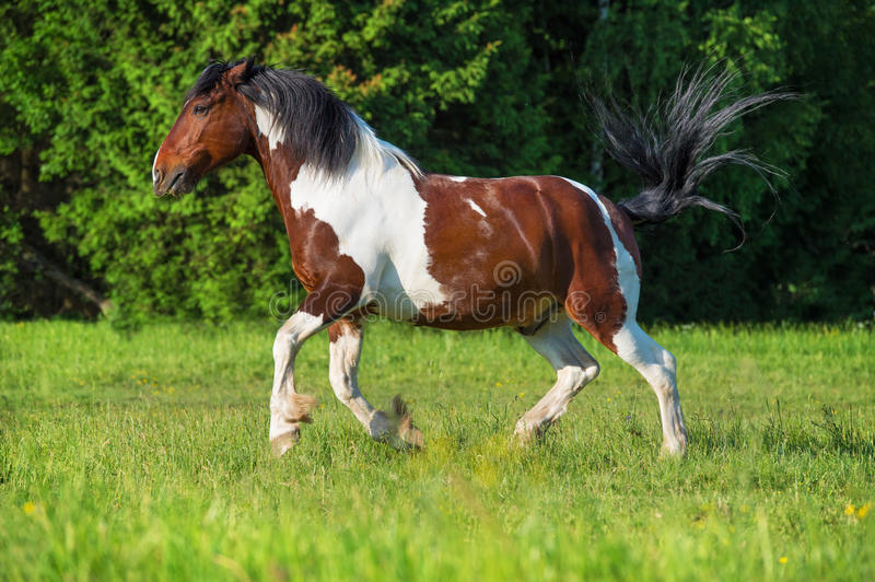 Paint horse runs gallop on freedom royalty free stock photo