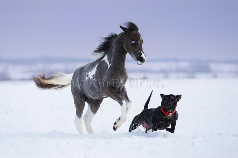 Paint miniature horse playing with a dog on snow field royalty free stock images