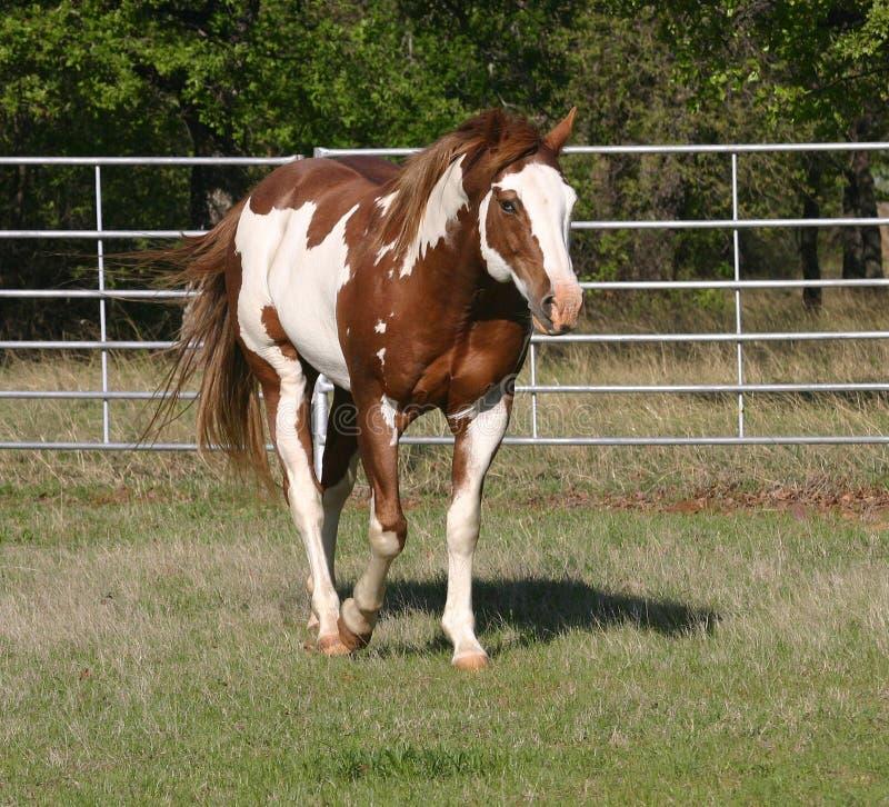 Free Paint Stallion Royalty Free Stock Image - 4995696