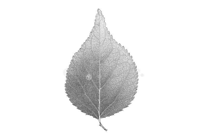 Painted black pencil leaf linden royalty free stock images