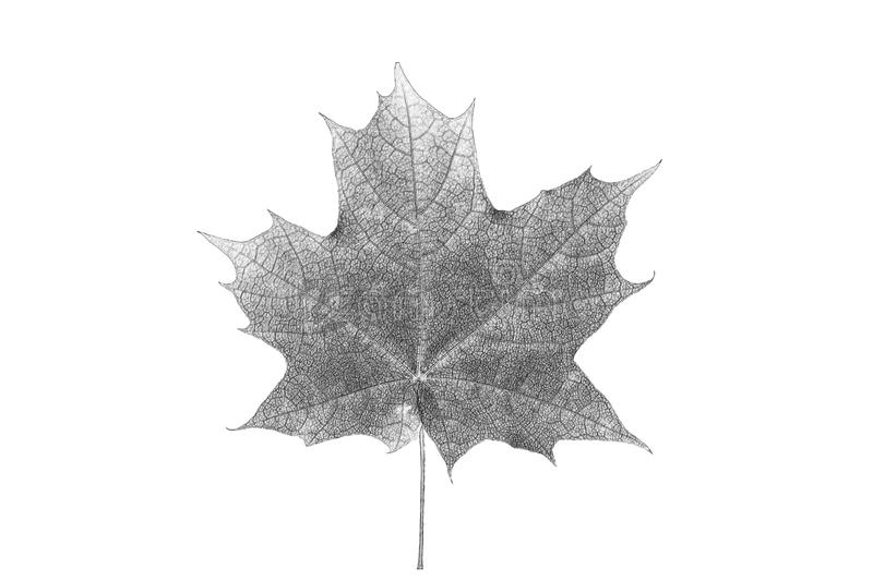 Painted black pencil maple leaf royalty free stock image