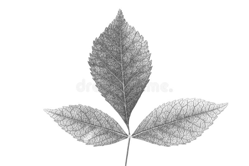 Painted black pencil Red leaf royalty free stock image