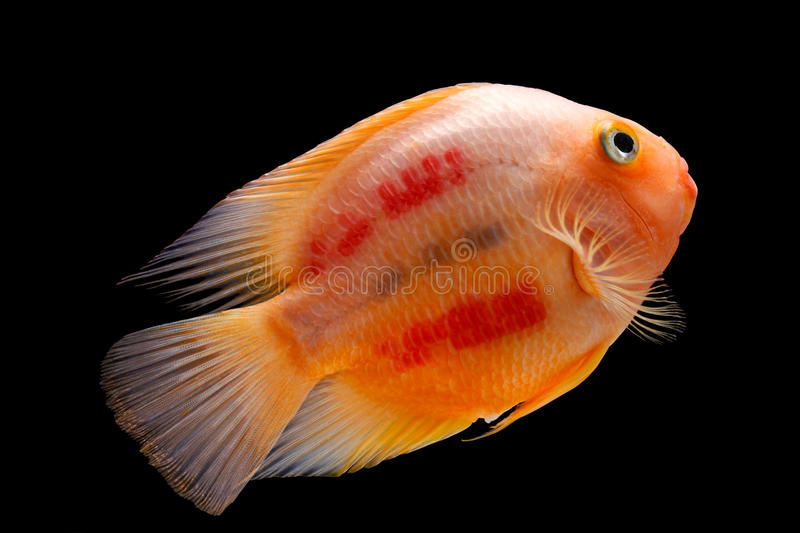 Painted blood parrot cichlids (Cichlasoma sp. ) royalty free stock photography