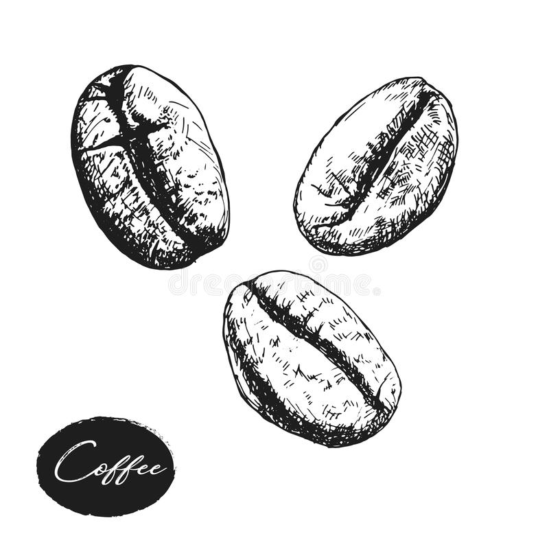 Painted coffee beans, sketch, vector drawing, perfect ingredient, stock illustration