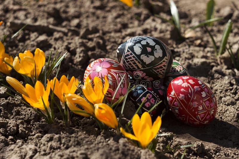 Painted Easter eggs lie on the ground next to the yellow Crocus. Spring, holiday concept royalty free stock images