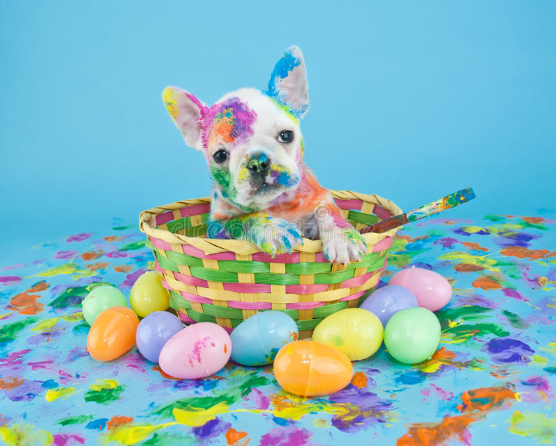 Painted Easter Puppy. Funny little French Bulldog puppy sitting in an Easter basket, that looks like she just got done painting Easter eggs. On a blue background