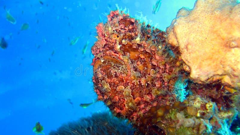 Painted Frogfish Or Anglerfish,Antennarius Pictus Stock Image
