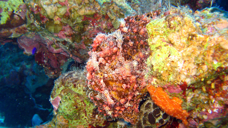 Painted Frogfish Or Anglerfish,Antennarius Pictus Stock Photography