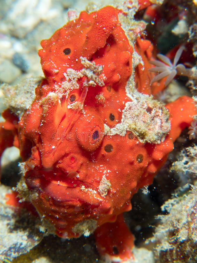 Painted frogfish hidden in plain view. Bright red painted frogfish, Antennarius pictus, mimics a sponge to avoid predators and ambush prey. Alor Archipelago royalty free stock images