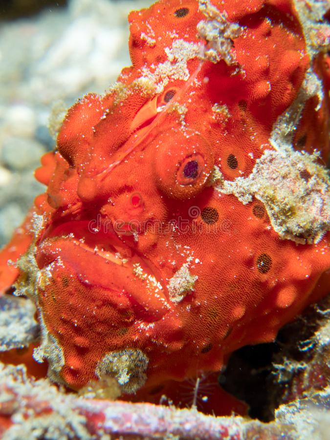 Painted frogfish hidden in plain view. Bright red painted frogfish, Antennarius pictus, mimics a sponge to avoid predators and ambush prey. Alor Archipelago stock photography