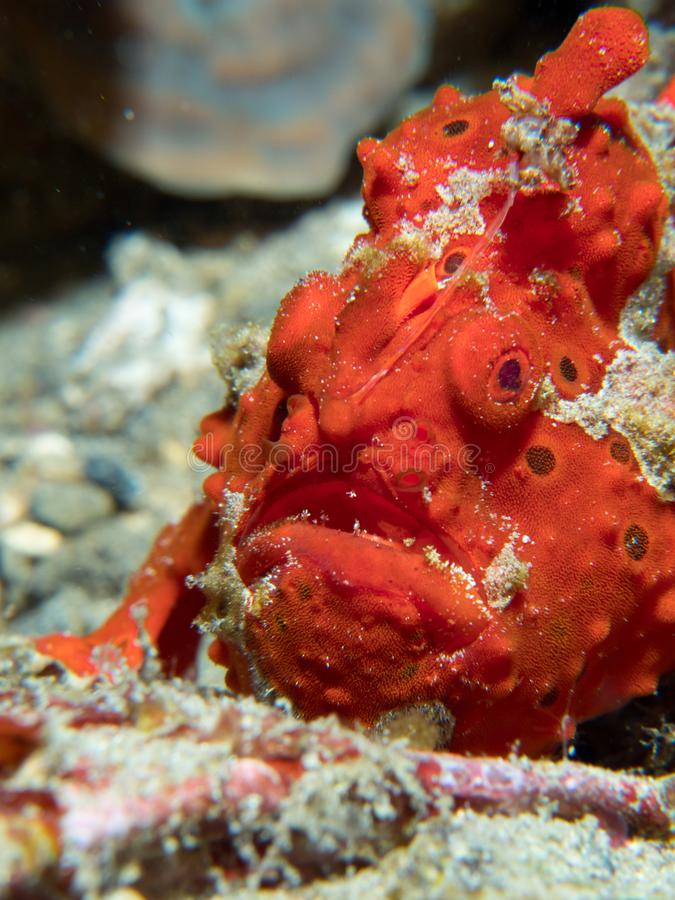 Painted frogfish hidden in plain view. Bright red painted frogfish, Antennarius pictus, mimics a sponge to avoid predators and ambush prey. Alor Archipelago royalty free stock photography
