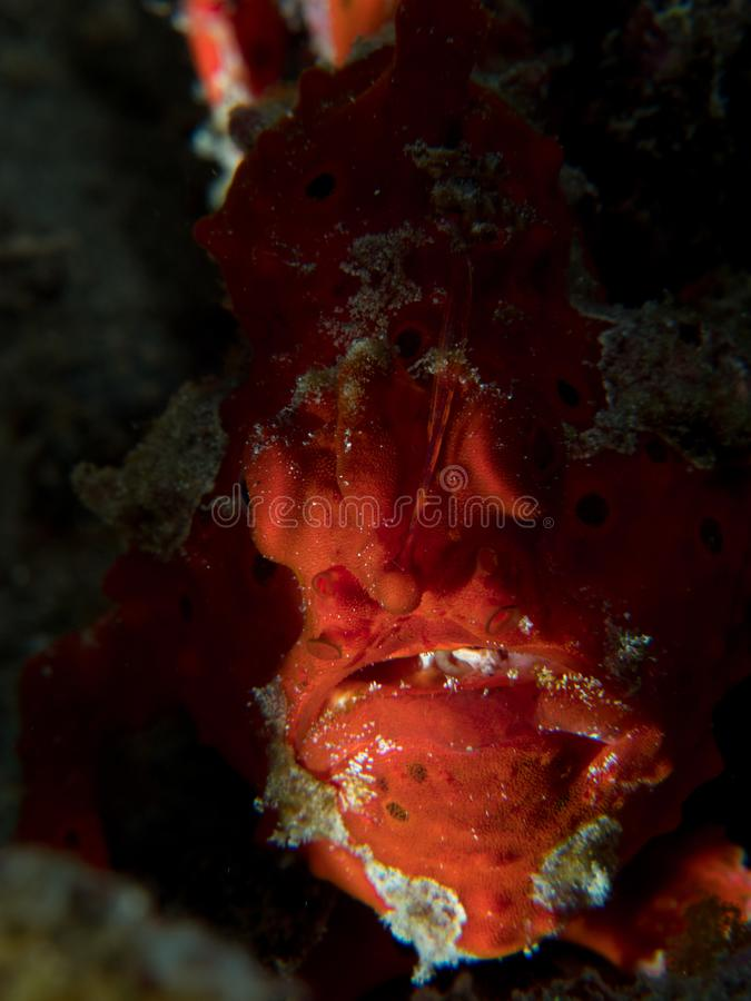 Painted frogfish hidden in plain view. Bright red painted frogfish, Antennarius pictus, mimics a sponge to avoid predators and ambush prey. Alor Archipelago stock image
