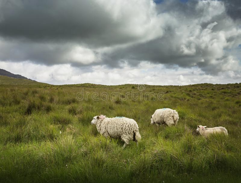 Painted Irish Sheep. In the meadow royalty free stock image