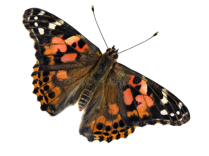 Download Painted Lady stock image. Image of isolated, painted, lady - 2803911