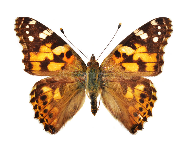 Download The Painted Lady stock image. Image of wing, biology - 28850401