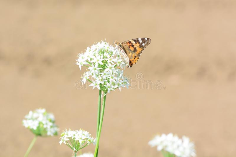 Painted lady. Absorbs floral nectar stock photography