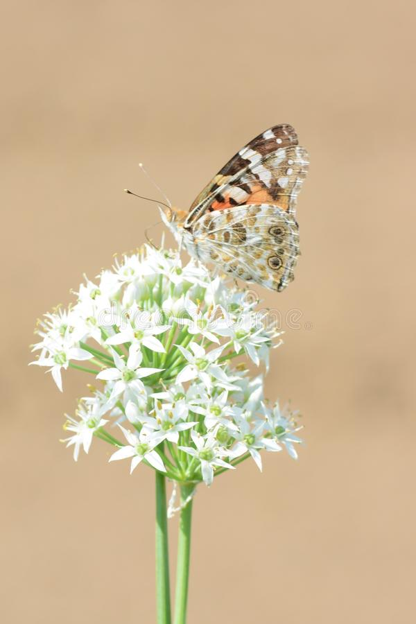 Painted lady. Absorbs floral nectar stock images