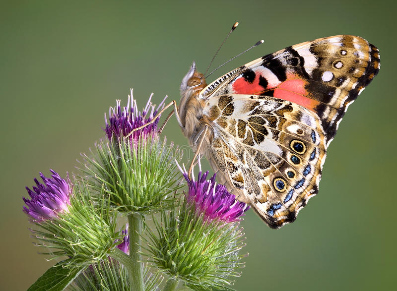 Painted Lady on Burdock. A painted lady butterfly has landed on a burdock plant stock photo