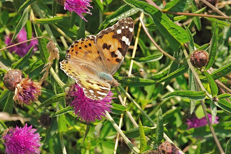 Painted Lady Butterflies - Vanessa Cardui. Myriad clouds of Painted Lady Butterflies - Vanessa Cardui – known as the Cosmopolitan in North America, are royalty free stock photography