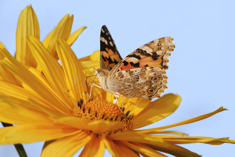 Painted Lady butterfly. On a yellow marguerite flower stock photos