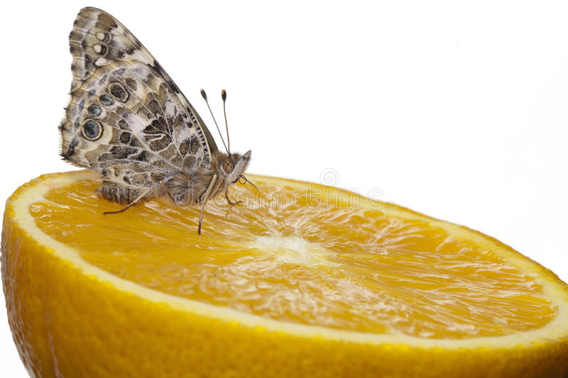 Download Painted Lady butterfly stock image. Image of monarch - 24522669