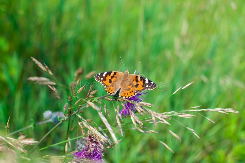 Painted lady butterfly on blooming purple thistle flower close up top view, Vanessa cardui on blurred green grass background macro royalty free stock photos
