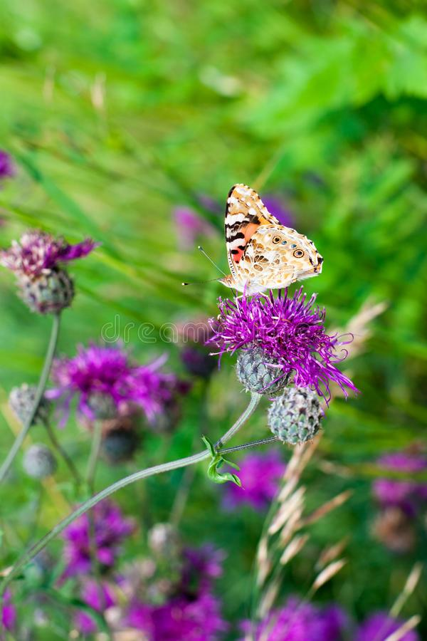 Painted lady butterfly on blooming purple thistle flowers close up side view, beautiful orange Vanessa cardui on blurred grass. Painted lady butterfly on stock image