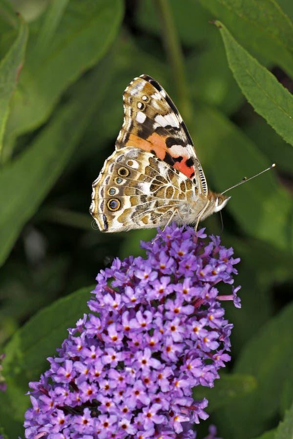 Painted Lady butterfly on Buddleja davidii stock photo