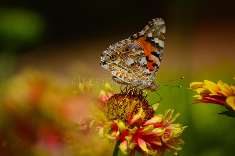 Painted Lady Butterfly. Colorful Painted Lady Butterfly in a garden at Agartala, Tripura, India, Asia royalty free stock photography