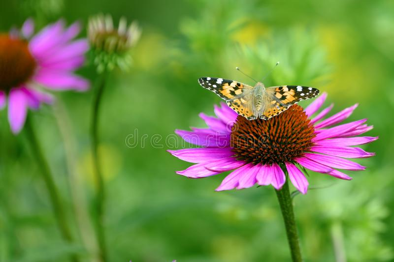 Cosmopolitan butterfly - Vanessa cardui, Syn.: Cynthia cardui - on flowering pink coneflower, sunhat royalty free stock photos