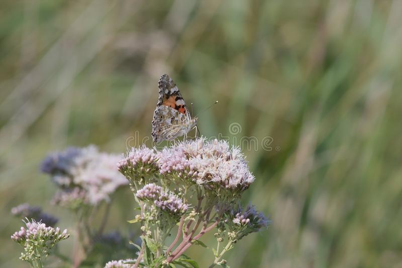 Painted Lady butterfly feeding on a flower. royalty free stock image