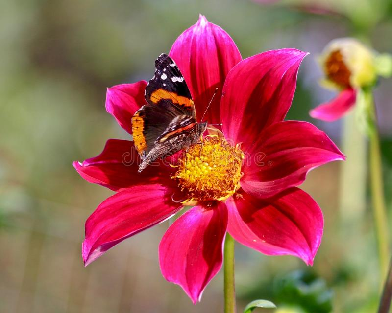 Painted Lady Butterfly feeding on Red Dahlia on sunny day stock photo