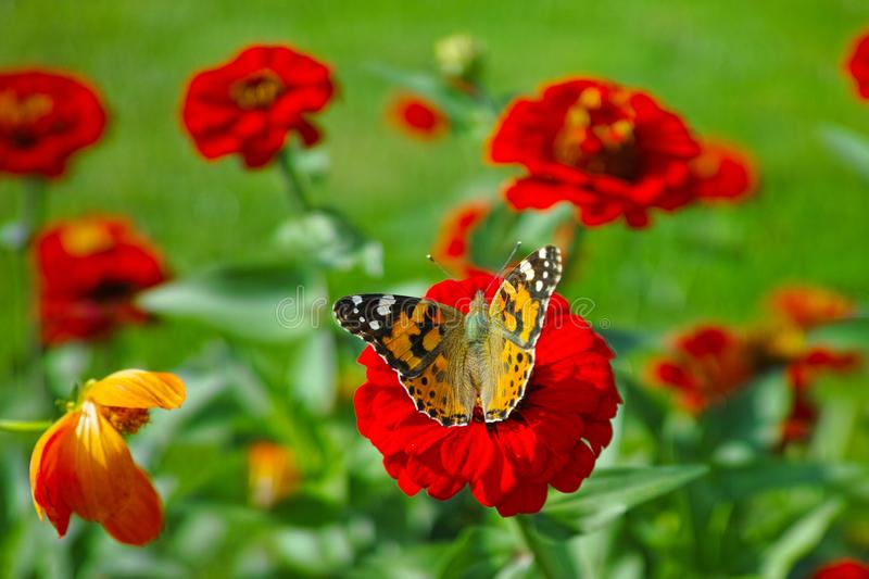 Zinnia Elegans scarlet bloom with butterfly in flower garden royalty free stock image