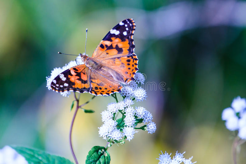 Painted Lady Butterfly royalty free stock photography