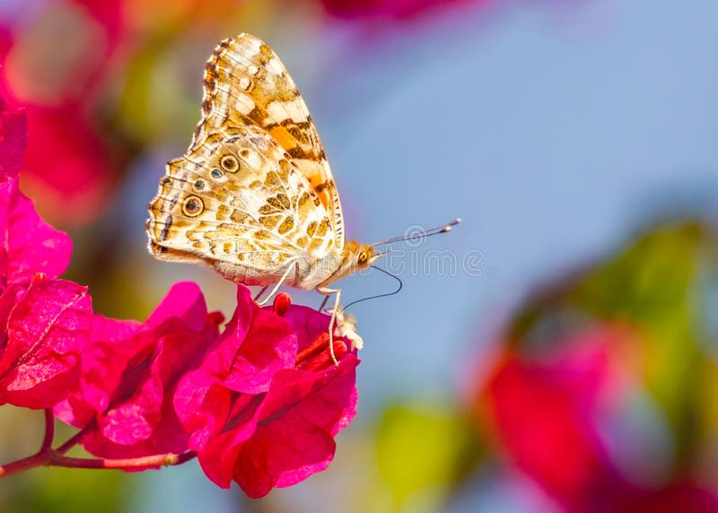 Painted lady butterfly with its wings closed, feeding on the nectar of a small white flower, surrounded by pinky red petals, stock images