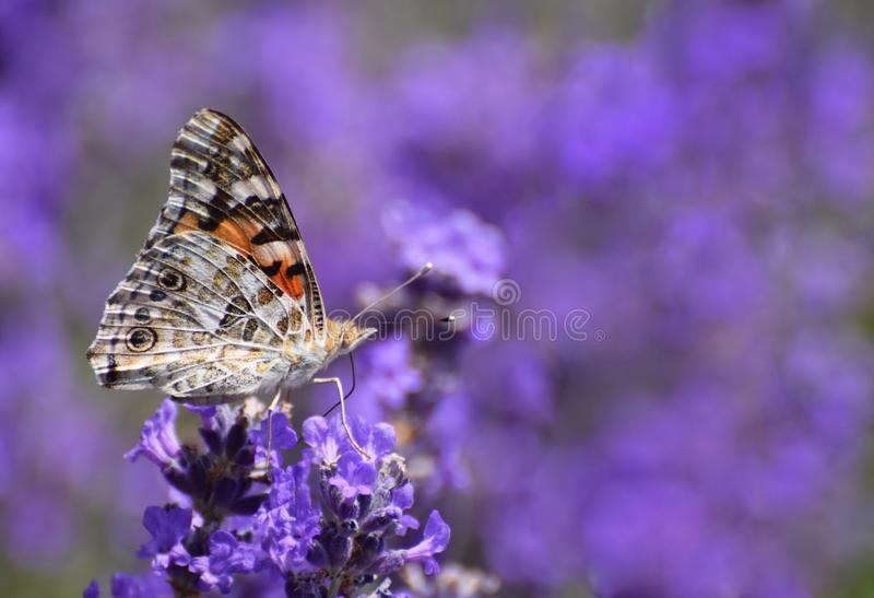 Painted lady butterfly on lavender. A painted lady butterfly on lavender flowers in summer in the UK stock image