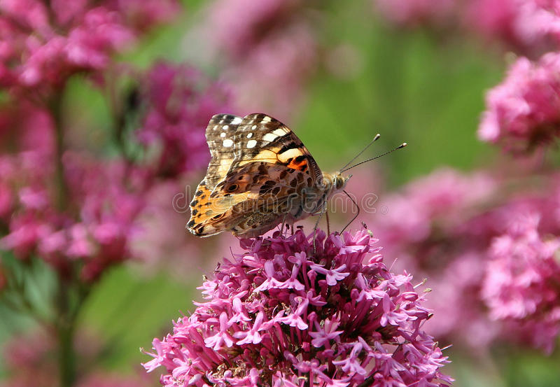 Painted lady butterfly. Photo of a pretty painted lady butterfly feeding on nectar from summer plants royalty free stock images