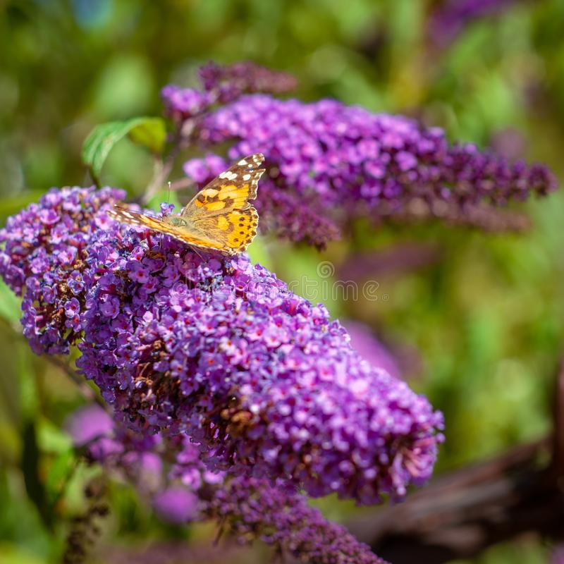 Painted Lady Butterfly on a Purple Cone Flower in Scotland stock photo