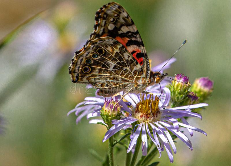 Painted Lady Butterfly on Purple Wildflowers, Ouray Perimeter Trail, Colorado #2. Beauty on the Trail royalty free stock photos